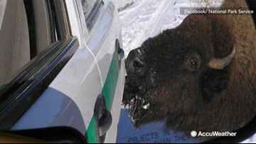 National Park Service: Watch out for animals that may lick salt off vehicles