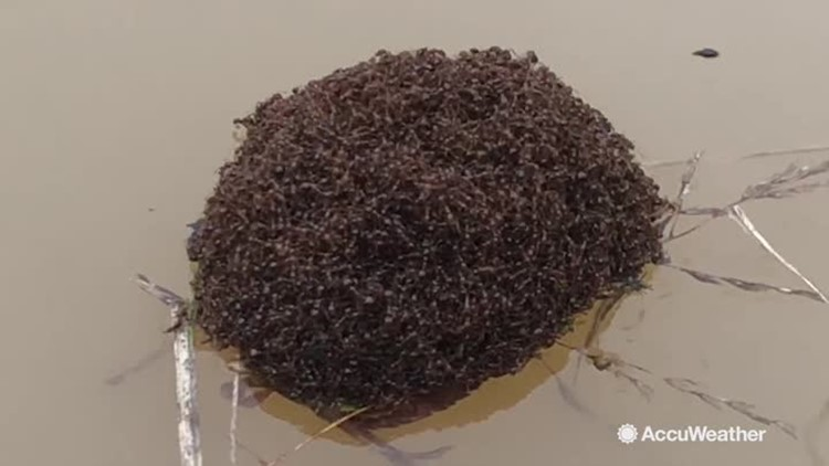 Fire ants create living, breathing raft on floodwaters