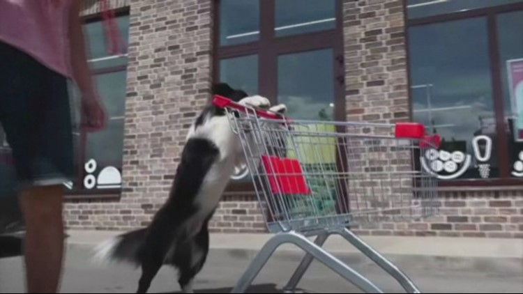 Check Out This Russian Dog Doing Various Tricks While on His Hind Legs!
