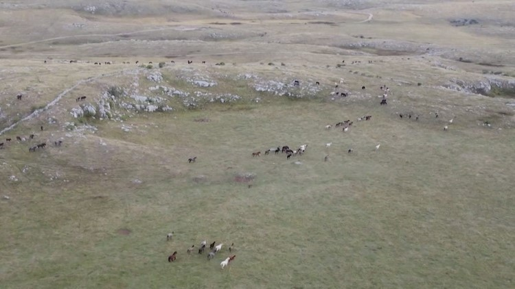 Wild Horses in Bosnia Cause Headaches for Farmers While Tourists Love Them!