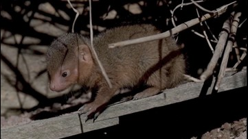 Mongoose Mania! See Trio of Cute Mongoose Pups Go Exploring for the First Time