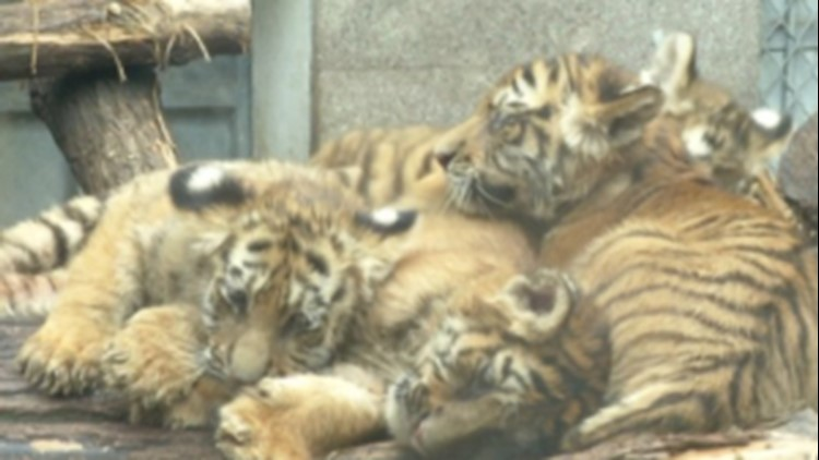 Cute and Energetic Siberian Tiger Cubs Are Drawing a Crowd