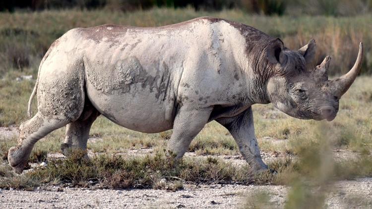 Rhino Switzerland Endangered Species