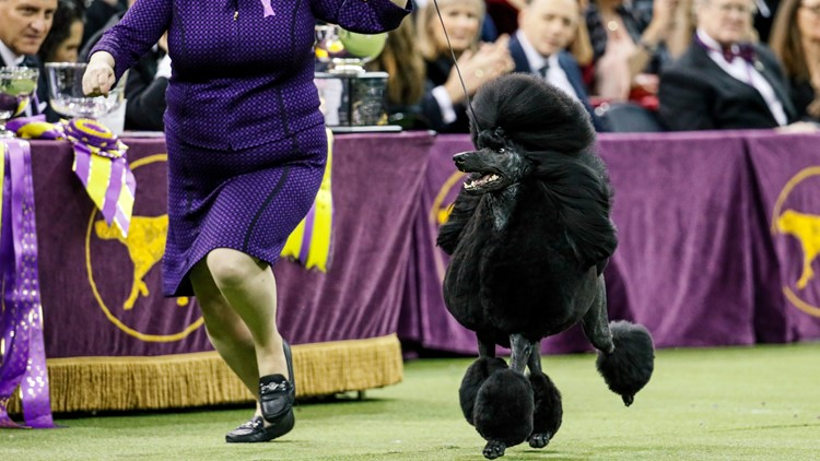 Westminster dog show to return to NYC in January 2022