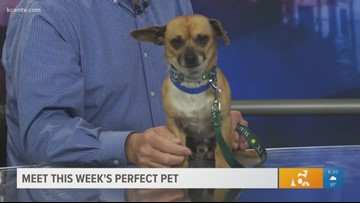 Perfect Pet: Meet a sweet, gentle chihuahua