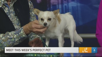 Perfect Pet: Meet this soft and sweet Chihuahua