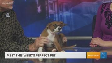 Perfect Pet: Meet a rambunctious Rhodesian Ridgeback pup