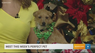 Perfect Pet: Meet this 1-year-old terrier