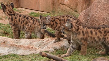WATCH: Mountain lion cub coming to Cameron Park Zoo plays with brothers at OKC Zoo