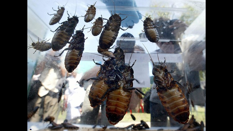 VERIFY   Are roaches becoming impossible to kill?