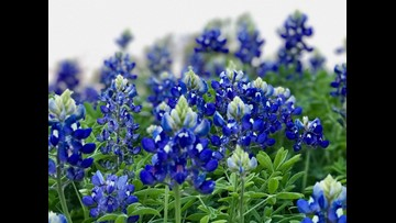 VERIFY: Is it illegal to pick bluebonnets?