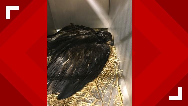 Bald eaglet injured
