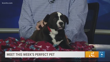 Perfect Pet: Meet a growing Mastiff mix puppy