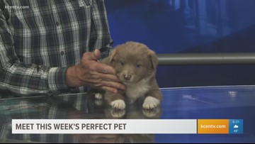 Perfect Pet: Meet a fluffy Australian Shepherd pup