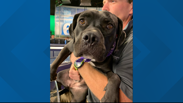 Meet pit bull mix Kerrigan! She's our Pefect Pet during pit bull awareness month