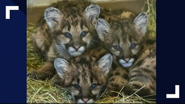Cameron Park Zoo adopting orphaned mountain lion cub