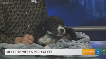 Perfect Pet: Meet a loving Terrier Border Collie Mix puppy by Valentine's Day