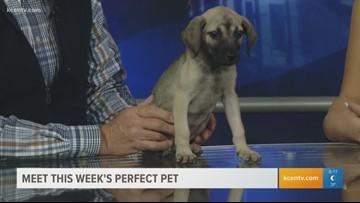 Perfect Pet: Meet a young German Shepherd hound mix