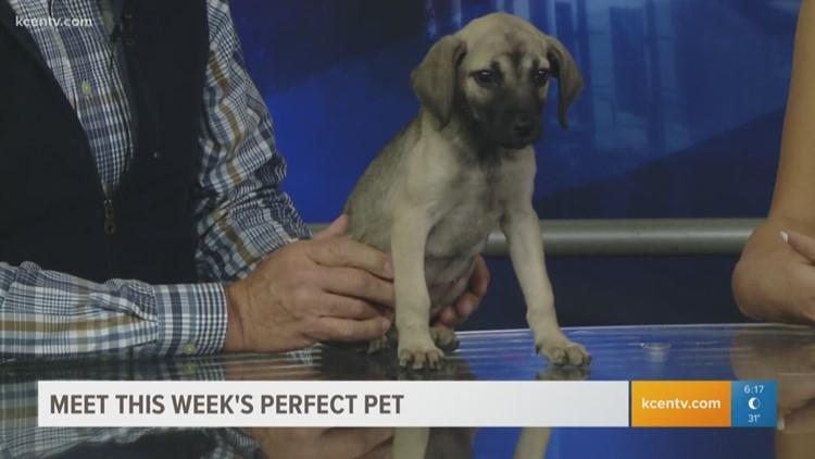 Perfect Pet Meet A Young German Shepherd Hound Mix Kcentv Com