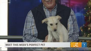 Perfect Pet: Meet this 2-month-old Labrador Mix pup