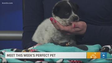 Perfect Pet: Meet a sweet Australian Cattle pup