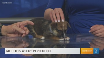 Perfect Pet: Meet a tiny Australian Cattle pup