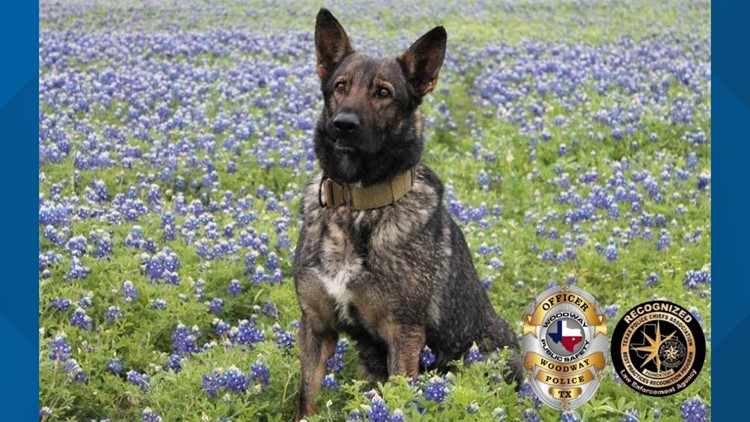 Woodway Police K9 nominated for award was attacked by rattlesnake, expected to make full recovery
