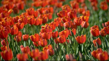 San Antonio-area tulip field opens Thursday, expected to bloom through March