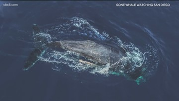 Whale watchers try to save entangled whale off coast of San Diego