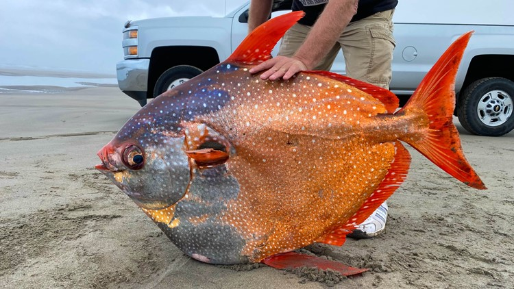 100-pound tropical fish rare to Oregon Coast found on beach north of Seaside