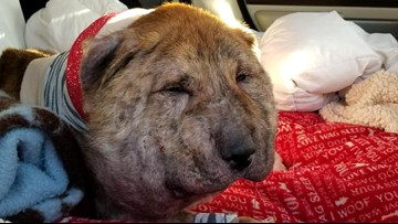 Severely abused dog recovering after surgery at A&M