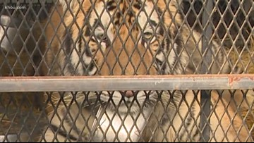 'I'm not lying about this, I swear' | 311 audio released of woman who found tiger in Houston home