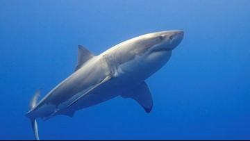 1,600 pound great white shark spotted in Gulf of Mexico