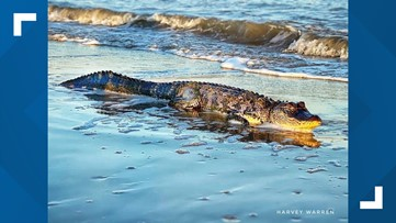 Man spots big gator lounging on beach near Galveston