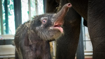 Meet Nelson, the baby elephant born at the Houston Zoo