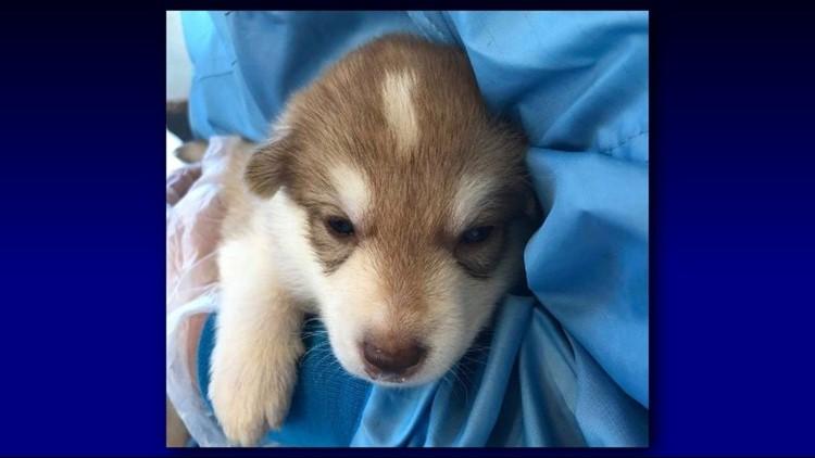 Volunteers needed to cuddle rescued wolfdog puppies in Arizona