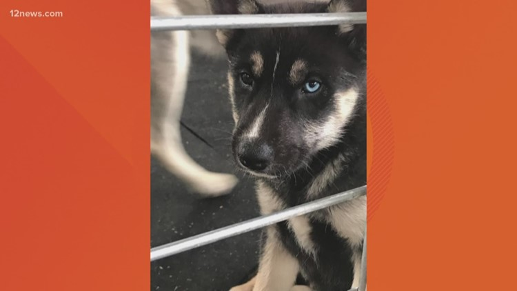 Wolfdog puppies rescued, brought to Arizona