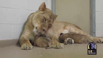 WATCH: Lioness celebrates Mother's Day with newborn cubs