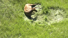 CPW workers to evaluate pregnant elk on Lookout Mountain