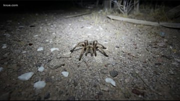 Watch your step! Fist-sized tarantulas spotted in Texas