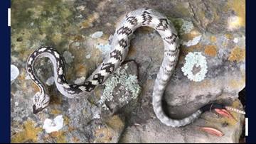 Rare Eastern black-tailed rattlesnake spotted in Jonestown