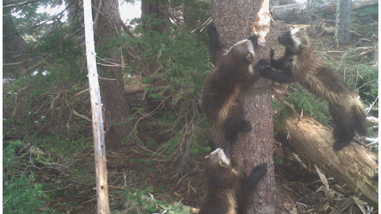 WATCH: Wolverines return to Mount Rainier National Park after 100-year absence