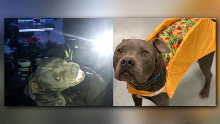 Pitbull who hijacked Kilgore police vehicle, ate officer's beef jerky taken in by Longview Animal Care and Adoption Center