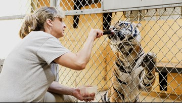 Not your average cat lady: A day in the life of a tiger zookeeper