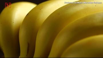 The Banana Industry Is in Danger with Return of Panama Disease