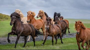 Photographer Captures Icelandic Horses That 'Look Like Rock Band Members'