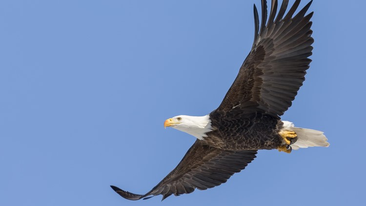 Bald eagle populations soar in lower 48 states, new US report says