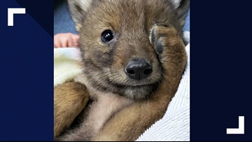 Coyote pup enjoys 1-night stay at woman's home