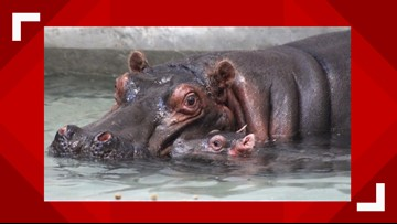 Meet the newest baby hippo at the Dallas Zoo
