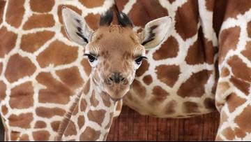 The Dallas Zoo named its newborn giraffe 'Witten'